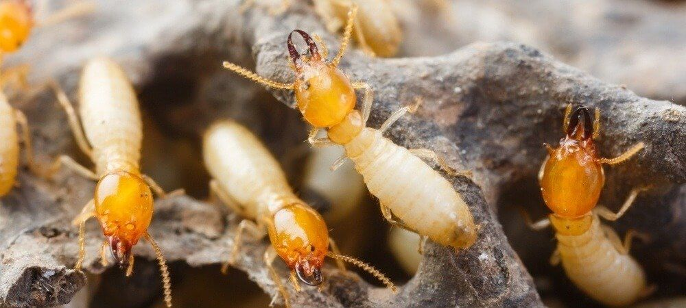 Pre Purchase Termite Inspection
