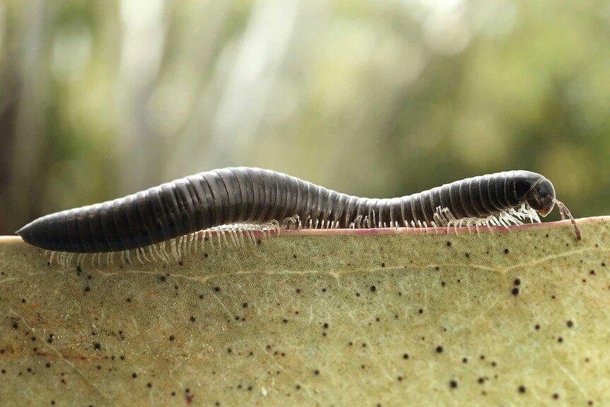 Millipede Control In Perth