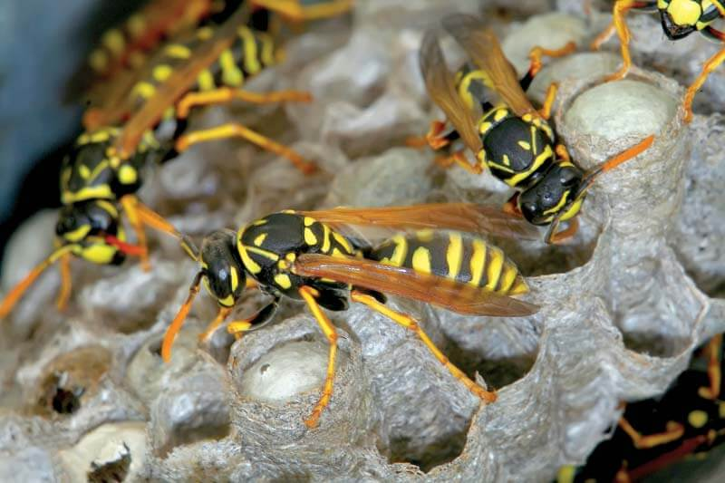 Wasp Removal In Perth