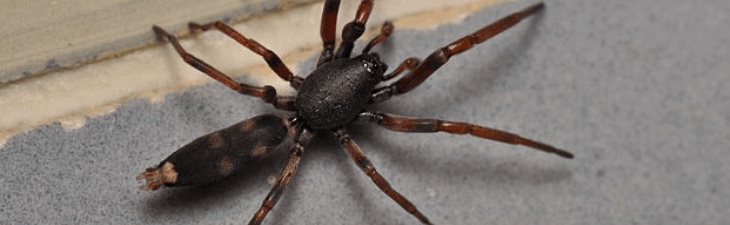 White Tail Spider Removal Perth