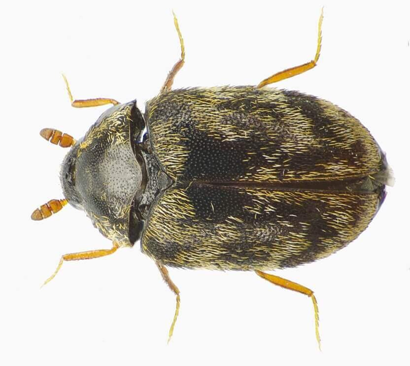 anthrenocerus australis carpet beetle removal perth