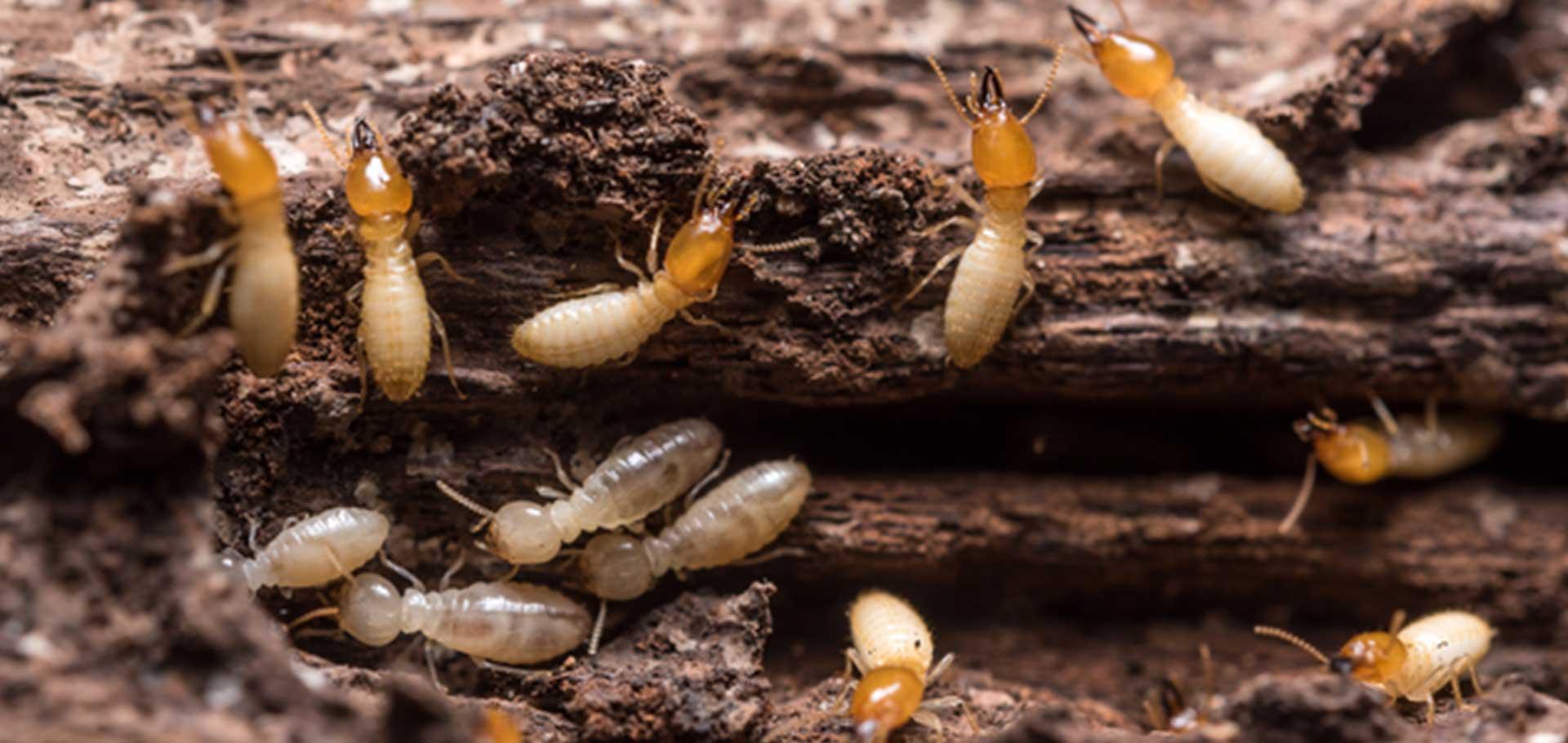 termites control perth